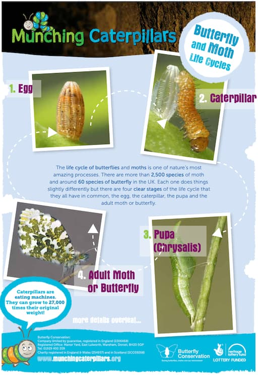 Butterfly and Moth Lifecycles