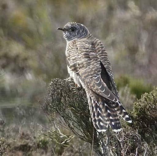 Cuckoo (Credit Ally Barron)