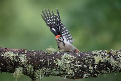 Woodpecker (Credit Sue Johnson)