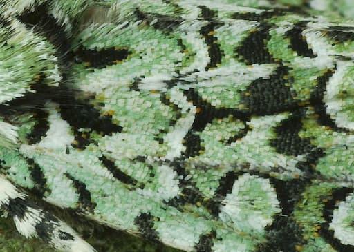 Merveille Du Jour (Close-Up Of Scales)