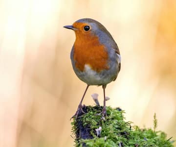 Robins, Blackbirds and Jays