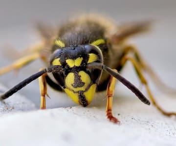 Autumn Wasps