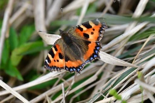 Butterfly's Antennae, Short Tortoiseshell (Alba Birds and Beast)