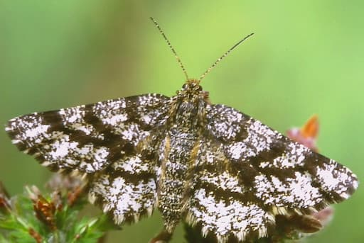 Common Heath Female