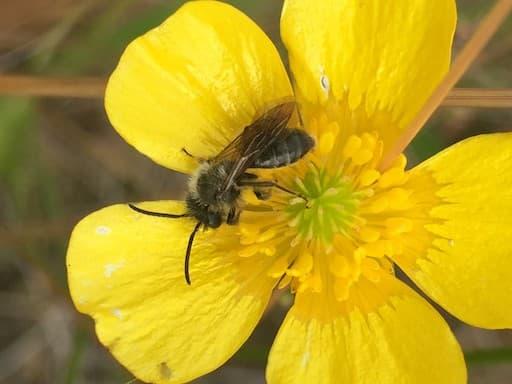 Mining Bee Andrena Sp