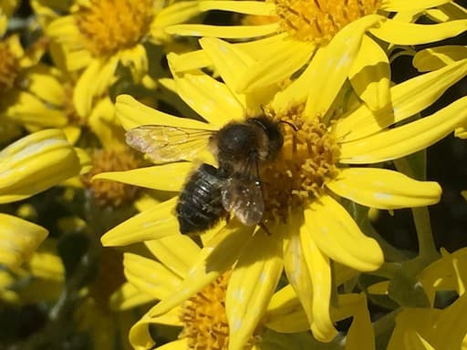 Willughby Leafcutter Bee