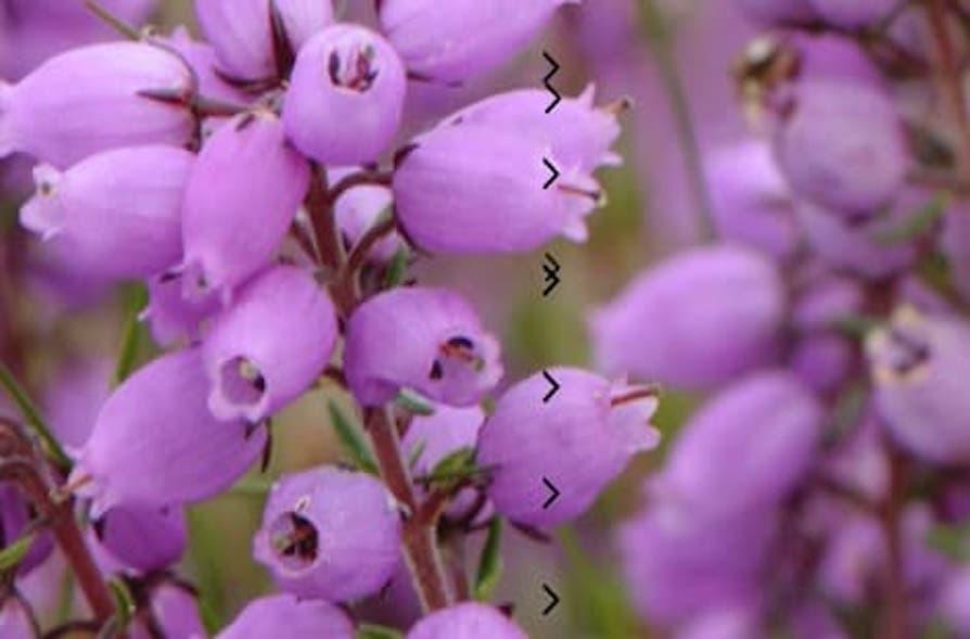 Jock's Favourite Plants - Heather