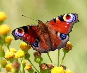 Grow Flowers for Butterflies