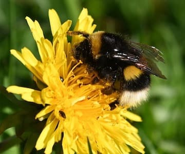 Fuzzy and Buzzy-Bumblebees