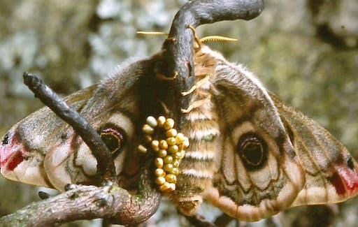 Emperor Moth Female Egg Laying
