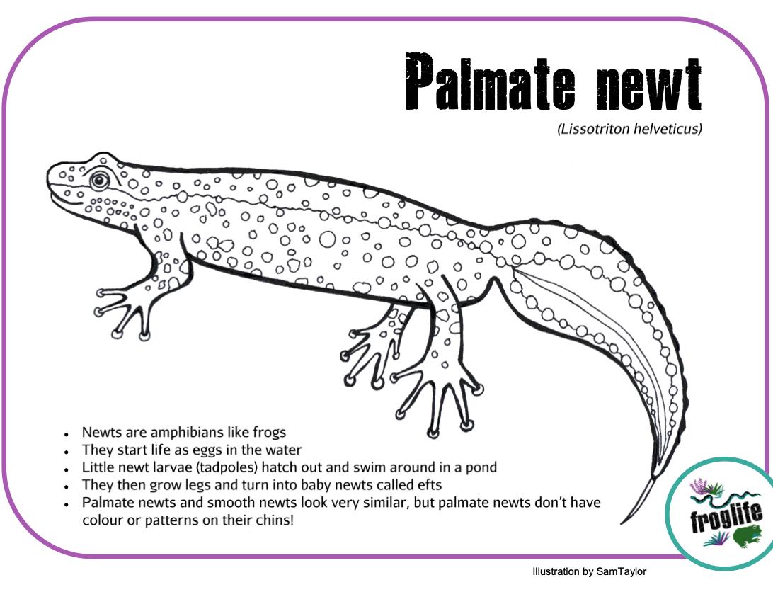 Colour in Amphibians - Newt