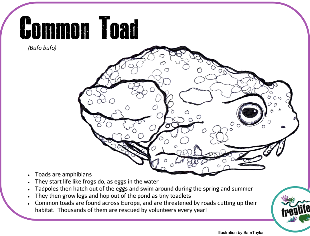 Colour in Amphibians - Toad