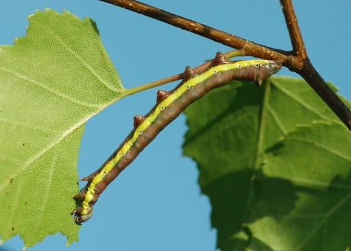 Lesser Swallow Prominent Caterpillar Feeding