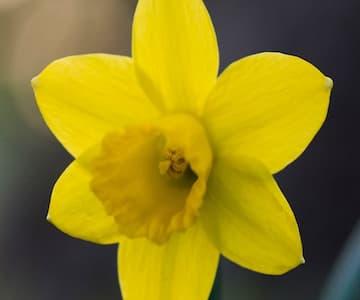 Make An Origami Daffodil
