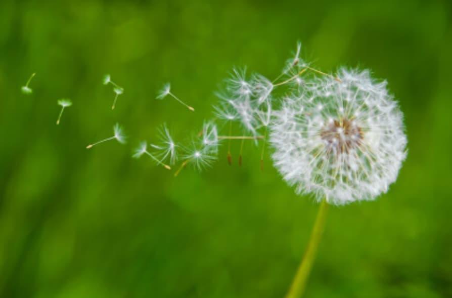 Jock's Favourite Plants - Cat's Ears and Dandelions