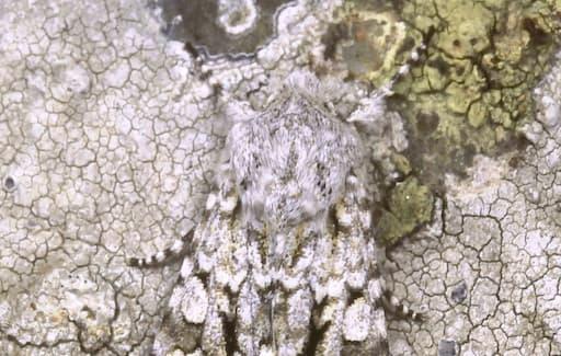 Moths - A Grey Chi Moth On A Rock