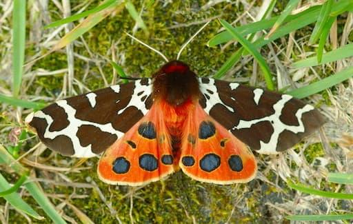 Moths - Garden Tiger