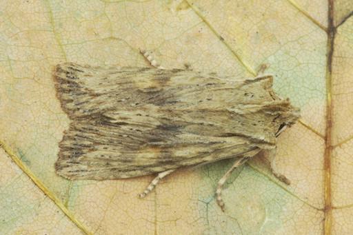 Pale Pinion Moth