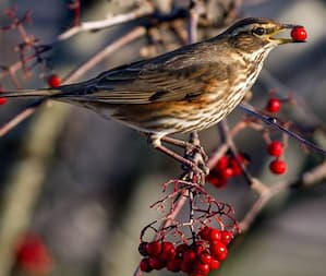 Fieldfares and Redwings