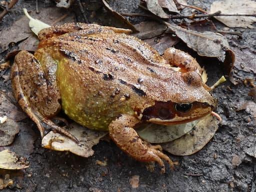 Frog (Credit Helen Rowe)
