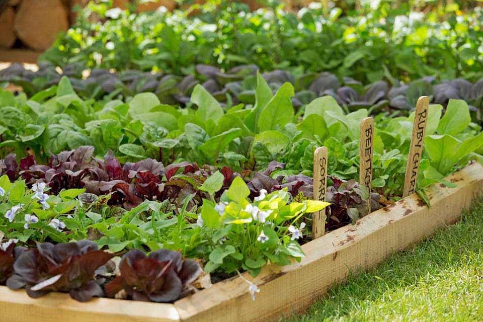 Growing Vegetables in School Gardens