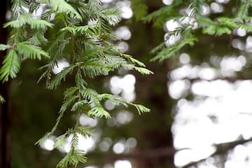 How to Identify Conifer Needles