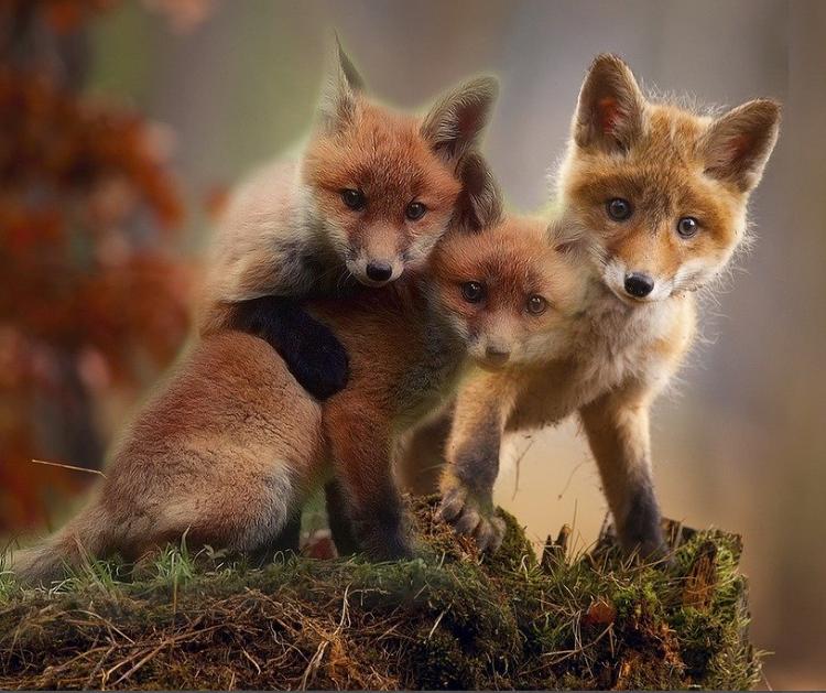 Jigsaw - Fox Cubs