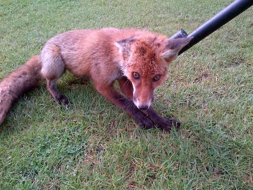 Fox Freed From Litter