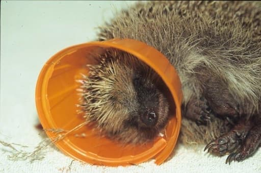 Hedgehog Trapped in Litter