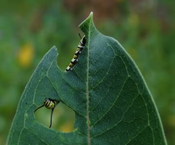 Caterpillar Eating Hole in Leaf