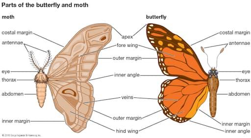 Butterflies and Moths Body Parts (Britannica Kids)