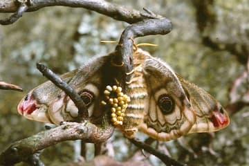 Moths - Life Cycle