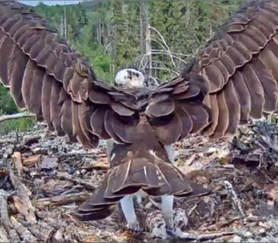 Jigsaw - Osprey