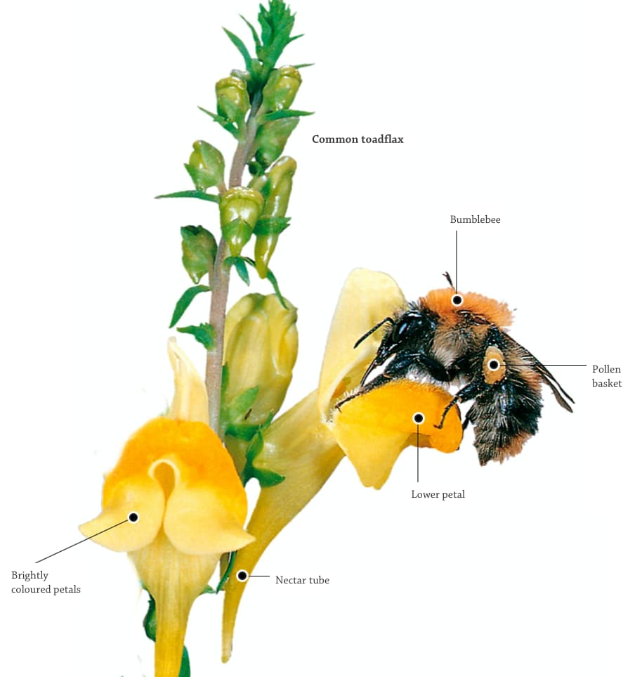 DK Find Out - How A Plant Is Pollinated