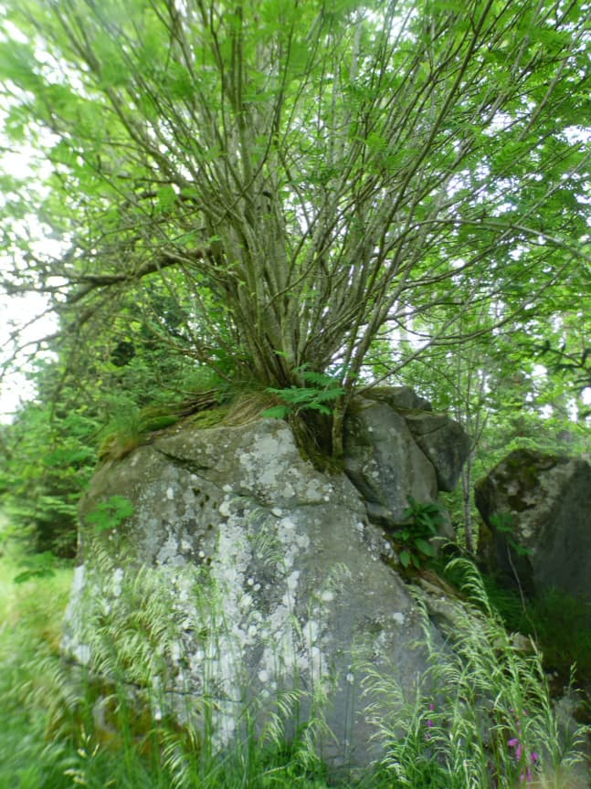 Rowan Tree Bark