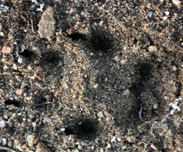 Tracking Bennachie Animals