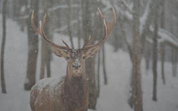 Winter Stag - Jigsaw