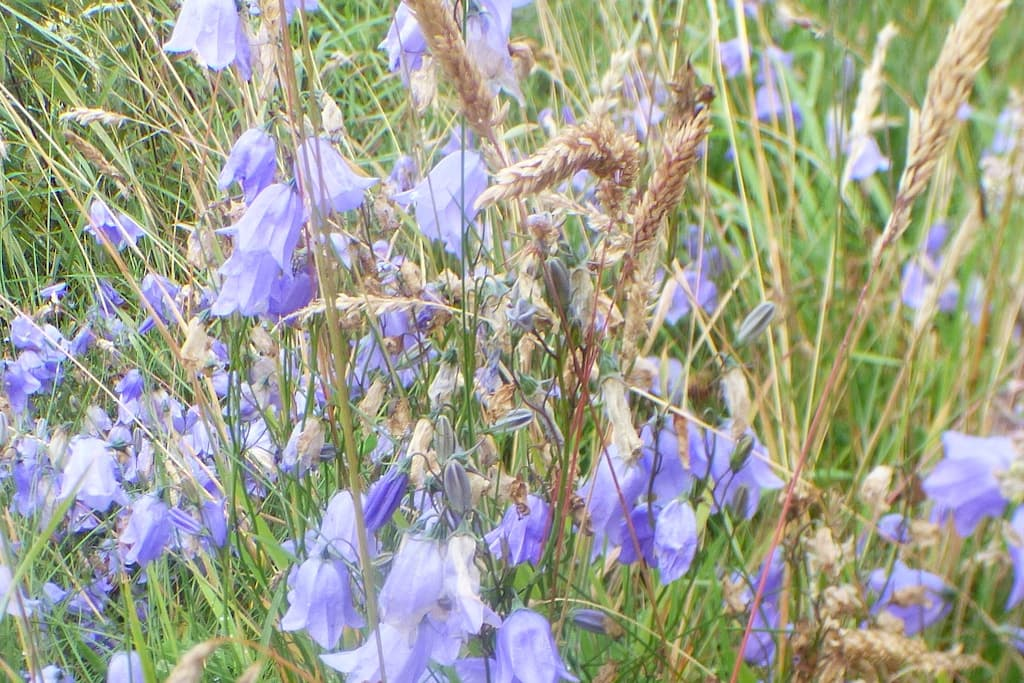 Harebells (Scottish Bluebell)