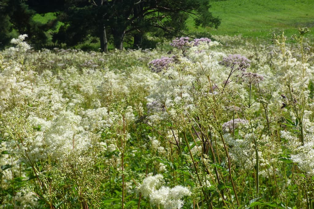 Meadowsweet  and Wild Angelica